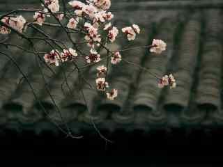腊梅花与瓦砾桌面壁纸