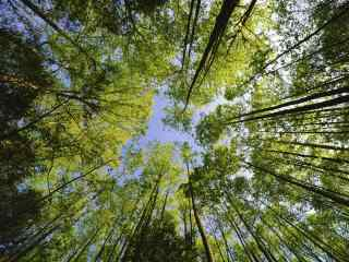 绿色的参天大树桌面壁纸