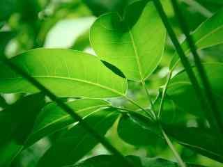 绿色护眼树叶桌面壁纸