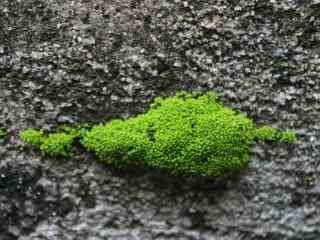 青苔在石板路上生长桌面壁纸