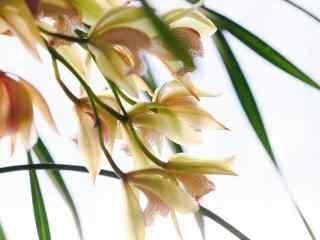 娇艳欲滴的兰花桌面壁纸