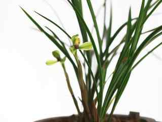 兰花品种寒兰桌面壁纸