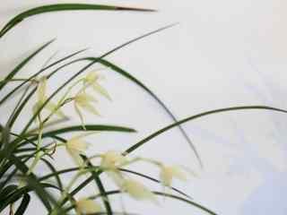中国兰兰花桌面壁纸