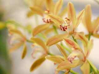 金黄色的兰花桌面壁纸