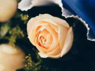 妇女节—香槟玫瑰特写桌面壁纸