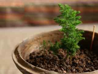 文竹小盆栽桌面壁纸