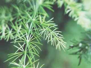 绿色唯美文竹桌面壁纸