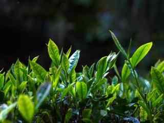 茶文化—绿油油的茶叶嫰条桌面壁纸