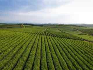 茶文化—绿油油的茶庄园桌面壁纸
