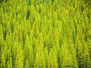 植树节—整片松树