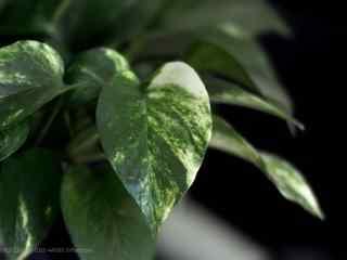 小清新水培绿萝植物桌面壁纸
