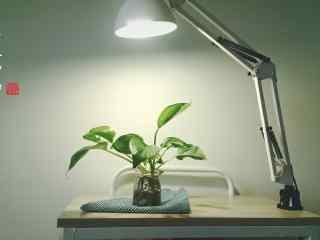 台灯下的绿萝盆栽桌面壁纸