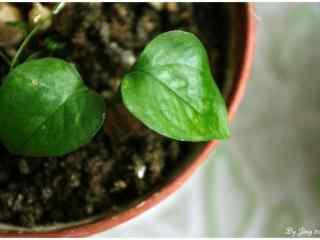 绿萝—绿色小清新盆栽植物桌面壁纸