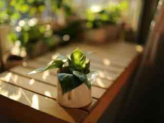 唯美绿萝盆栽桌面壁纸