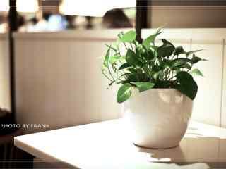 小清新好看的绿萝盆栽桌面壁纸