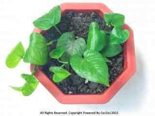 小清新绿色绿萝盆栽桌面壁纸