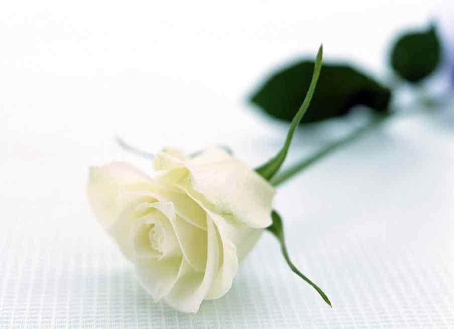 白色情人节-唯美白玫瑰高清壁纸