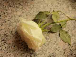 白色情人节-唯美的一枝白玫瑰