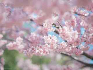春日唯美粉色樱花桌面壁纸