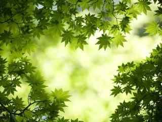 唯美绿色护眼枫叶