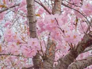 浪漫春日粉色樱花
