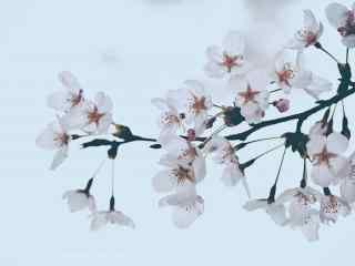 浪漫春日白色樱花