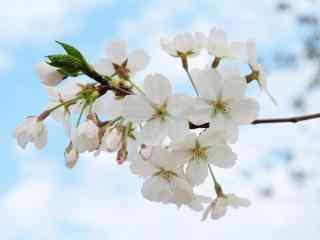 唯美白色樱花花团