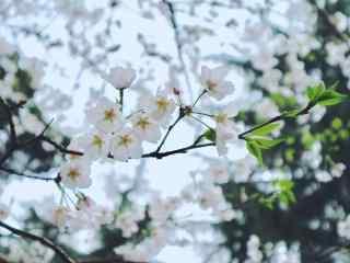 唯美小清新白色樱