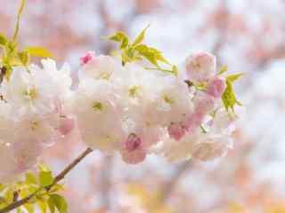 花团锦簇的粉色樱