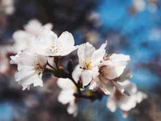 唯美好看的樱花桌