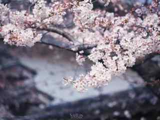 唯美文艺春日樱花