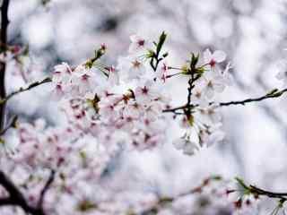 唯美小清新樱花桌