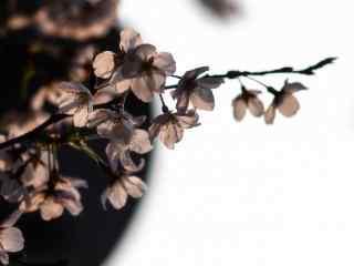 唯美春日浪漫樱花