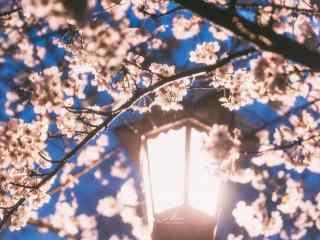 唯美路灯下的樱花