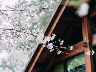 唯美日系樱花林桌