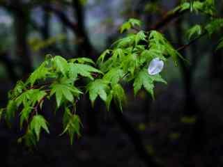 沾满雨露的枫叶桌面壁纸