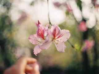 春日盛开的桃花桌