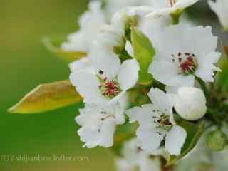 绿色护眼的桃花桌
