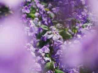 唯美紫色小花桌面壁纸