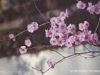 唯美小清新桃花桌面壁纸