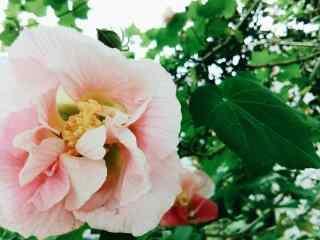 唯美粉白色芙蓉花桌面壁纸