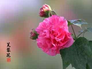 唯美好看的粉色芙蓉花桌面壁纸