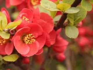 娇艳欲滴的红色芙蓉花桌面壁纸