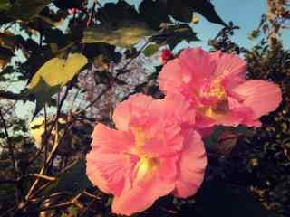 好看的粉色的芙蓉花微社桌面壁纸