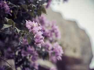 好看的紫色芙蓉花桌面壁纸