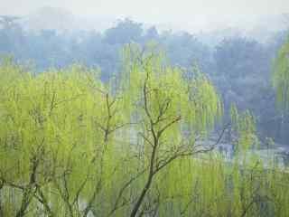 清明节习俗-小清新柳树桌面壁纸