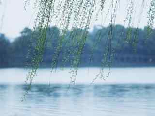清明节习俗-唯美清新柳树桌面壁纸