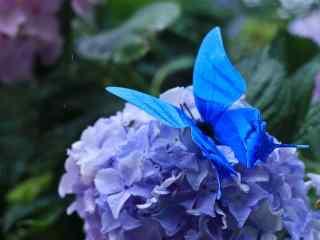 停在绣球花上的蝴蝶手机壁纸