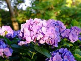 落日下的紫色绣花球桌面壁纸