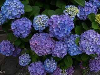一群紫色绣花球桌面壁纸